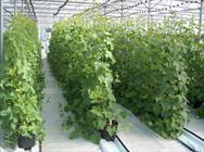 ۴ محصول کشاورزی در قزوین گواهی استاندارد دریافت کردند