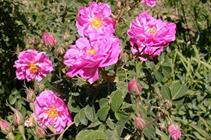 پیشگیری و درمان بیماران آلزایمر با کپسول گل سرخ در اصفهان