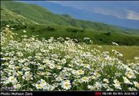 جشنواره گل های بابونه در اردبیل برگزار می شود