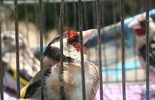نجات ۳۲ قطعه پرنده سهره توسط محیطبان لرستانی