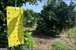 آغاز ردیابی آفت مگس میوه مدیترانهای در باغهای شهرضا