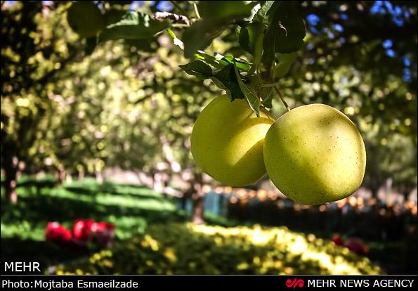 برداشت سیب