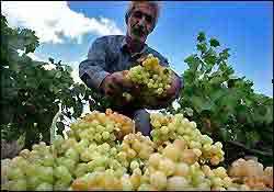 برداشت انگور در شهرستان مشکین شهر
