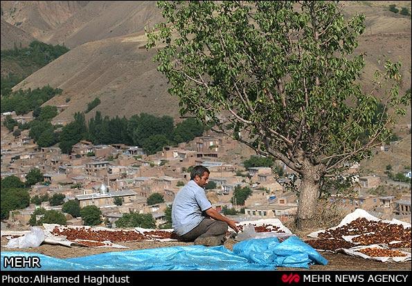 سایت مدارس مرند گزارش تصویری / تهیه خشکبار در روستای پیر بالای مرند ...
